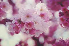 Cherry blossoms are also currently blooming in Bonn. Picture: Pixabay.com/Crane17